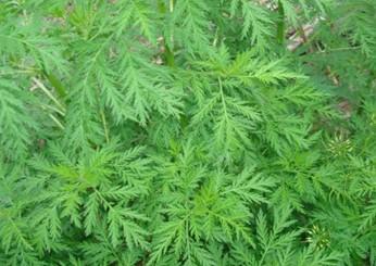 医药植物手绘图